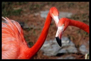 A pair of gossiping flamingos.